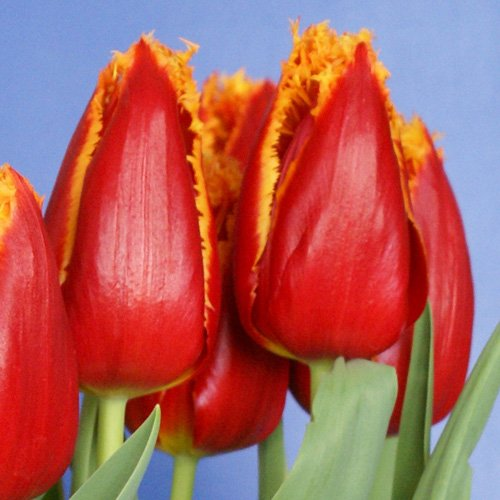 25 Quality Tulip Bulbs - Fabio (Red & Yellow) - Freshly Imported from Holland