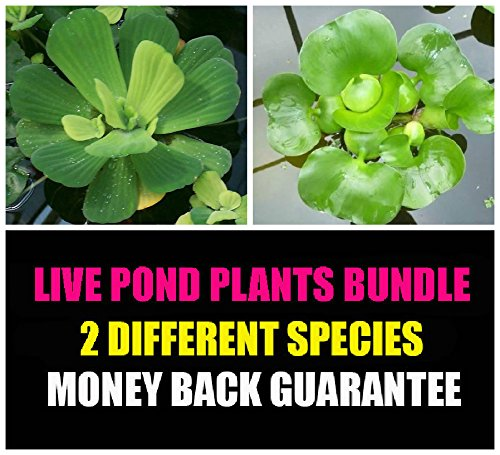 2 Floating Live Pond Plants - Watter Lettuce and Water Hyacinth (Water Hyacinth Plant compare prices)