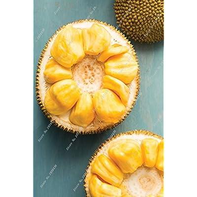 Organic fruit Jackfruit Seeds Fruit bonsai Tree seeds fruit seeds can edible Jackfruit 5pcs/bag : Garden & Outdoor
