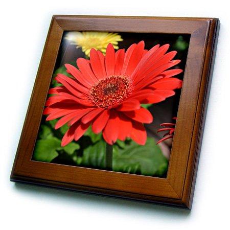 3dRose ft_22706_1 Red Gerbera Daisy Framed Tile, 8 by 8-Inch