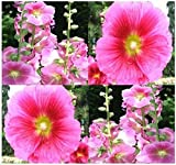 Alcea rosea (Hollyhock) Seeds - Attracts both hummingbirds and butterflies!!!!(50 - Seeds)