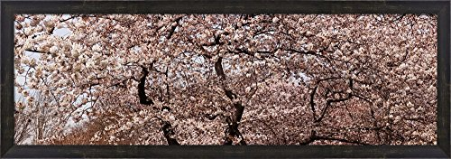 (Cherry Blossom trees in Potomac Park at the Tidal Basin, Washington DC, USA by Panoramic Images Framed Art Print Wall Picture, Espresso Brown Frame, 40 x 14 inches)
