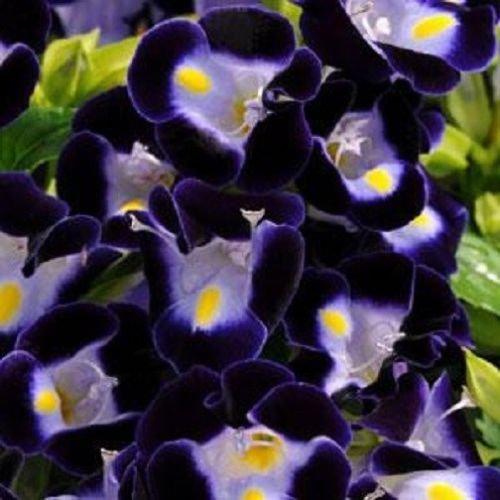 50 Seeds of Pelleted Torenia Kauai Deep Blue Pelleted Seeds