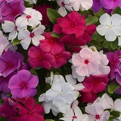 Periwinkle Little Mix Flower Seeds (Vinca Rosea) 100+Seeds : Garden & Outdoor