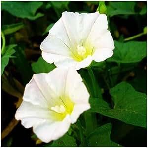 Garden Petunia Shuttlecock Flower Horn Bonsai petunia flower seeds 50 seeds / pack