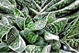 Gasteria bicolor v. liliputana - Well Rooted Succulent Plant - Spotted Ox Tongue