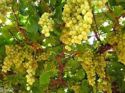 1128-white-concord-grapes-5-seeds