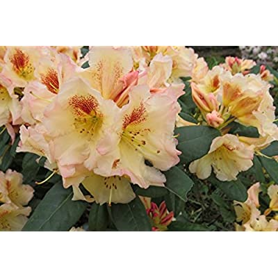 Rhododendron Marylou- Yellow and Pink Blooms with Red Blotches - Grows Three Feet Tall - 15