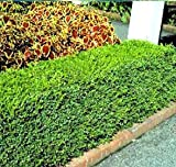Korean Boxwood - LOT of 10 plants (1 foot tall in trade gallon containers) Fast growing evergreen for a full hedge!