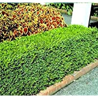 Korean Boxwood - Quantity 10 Live Plants in Quart Pots by DAS Farms
