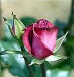 "Deja Blue My Bouquet Rose Bush - Almost Thornless - 4"" Pot"