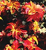 50+ Amaranthus Gangeticus Carnival Flower Seeds / Annual