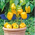 Seeds Yellow Sweet Pepper Komnatnyy Zholtyy F1 - Yellow Home Organic Seed