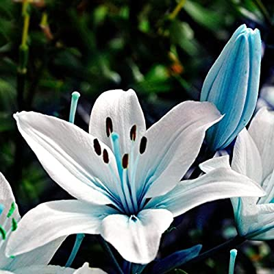 50pcs Blue Rare Lily Bulbs Seeds Planting Flower Lilium Perfume Garden Decor