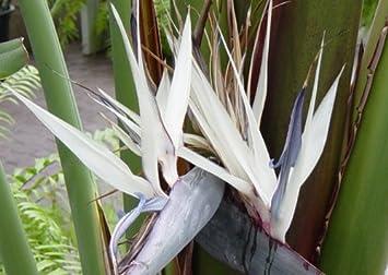 Baumstrelitzie 5 Samen Strelitzia nicolai