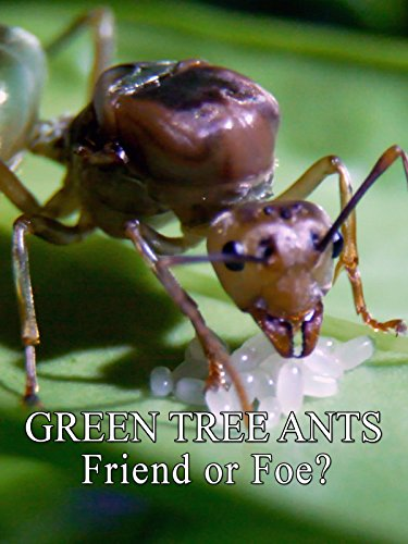 (Green Tree Ants: Friend Or Foe?)