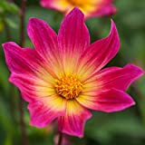 3 Bulbs Dahlia Single Bright Eyes