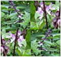 1,000 x THAI THAILAND SPICY BASIL - Basil seeds - fine green leaves ~ PURPLE STEMS & FLOWERS - 75 Days - By MySeeds.Co