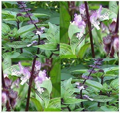 THAI THAILAND SPICY BASIL - Basil seeds - fine green leaves ~ PURPLE STEMS & FLOWERS - 75 Days