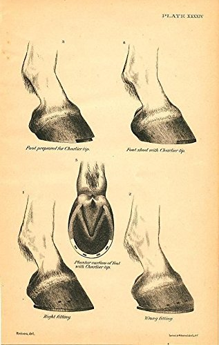 - Hoof samples with Charlier tip 1890 antique lithograph horse anatomy print