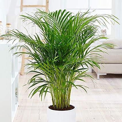 Areca Palm Plante vivante d'intérieur et d'extérieur 1 gallon d'air pur de  toxines Facile à cultiver – Excellent cadeau pour débutant. Facile à  cultiver: Amazon.fr: Jardin