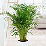 Areca Palm Indoor/Outdoor Live Plant 1 Gallon Clean Air of Toxins! Easy to Grow - Great Gift for Beginner. Easy to Grow