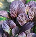 David's Garden Seeds Mustard Greens Garnet Giant D2797HU (Purple) 1000 Open Pollinated Seeds