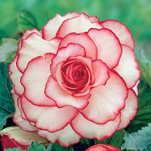 (Begonia Bulbs,Picotee First Love, One of The Most Popular perennials for Shade - 2 Bulbs)