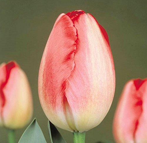 tulip bulbs pink - 8
