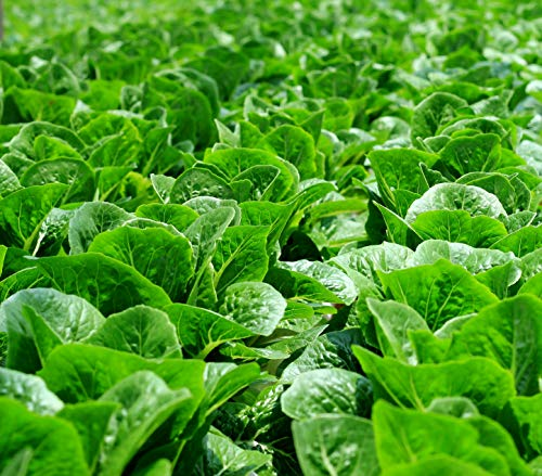 Parris Island Cos Romaine Lettuce Seeds for Microgreens or Garden C144 (64,000 Seeds)