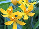 MILKWEED YELLOW Semi Tropical Live Plant Perennial Butterfly Garden Host Asclepias Starter Size 4 Inch Pot Emerald TM