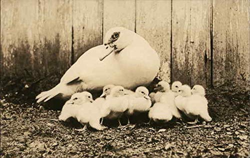 Adult Duck with Brood Other Animals Original Vintage Postcard from CardCow Vintage Postcards