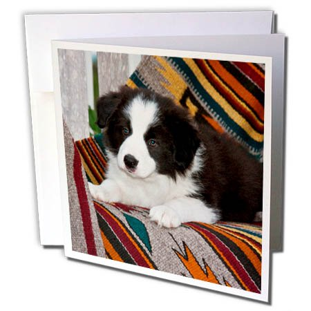3dRose Danita Delimont - Puppies - Border Collie Puppy Lying on Blankets - 6 Greeting Cards with envelopes (gc_258176_1) ()