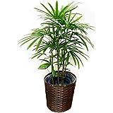 棕櫚竹 8号 鉢カバー付 シュロチク 寒さに強い 観葉植物 中型 大型 インテリア