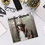 2020 Australian Shepherds Wall Calendar by Bright Day, 16 Month 12 x 12 Inch, Cute Dogs Puppy Animals Aussies Canine 12