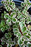 Hardy Sedum Succulents Assorted, 2in pot Live Plant Houseplant