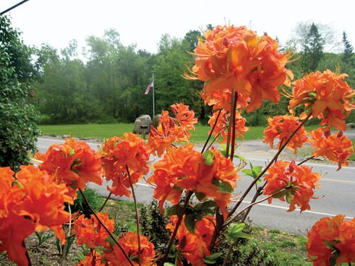 Trade Gallon Pot Mandarin Lights Orange Deciduous Azalea Live Plant Flower Shrub Planting by NLNgarden (Image #1)