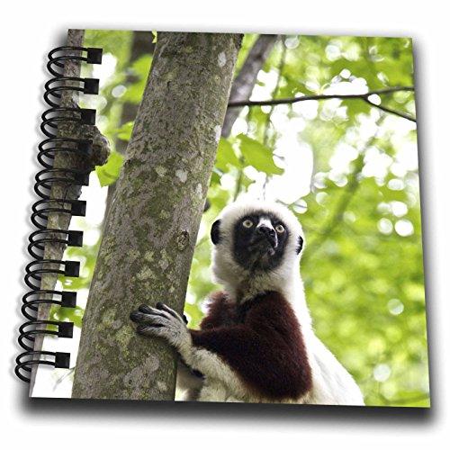 - 3dRose USA, North Carolina, Duke Lemur Center Coquerels Sifaka. Captive.-Mini Notepad, 4 by 4