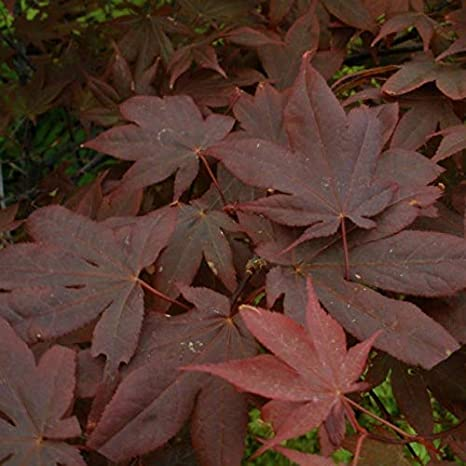 Pixies Gardens 3 Galones Acer Palmatum Okagami Arce Japonés Produce Grandes Hojas Rojas Oscuras Que Son Reflectantes En La Naturaleza Home Kitchen
