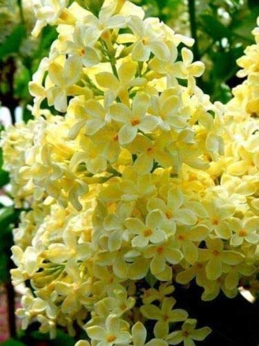 25 Yellow Lilac Seeds Tree Fragrant Hardy Perennial Flower Shrub Garden Bloom ()