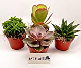 Fat Plants San Diego Large Succulent Plant Collection - Succulents in 4 inch Pots (4)