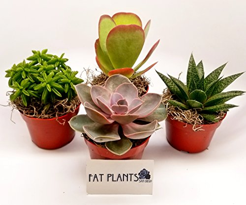 - Fat Plants San Diego Large Succulent Plant Collection - Succulents in 4 inch Pots (4)