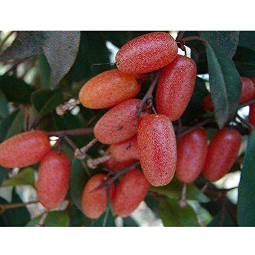 Hot Sale Gimax 2PCS Elaeagnus Multiflora Silverberry Goumi Berry Seeds Buddha's Light Fruit Chinese Ta-pieh Mountains Rare Fruits