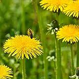 Outsidepride Dandelion Herb Plant Seeds - 5000 Seeds