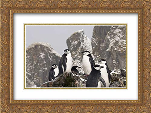 - South Georgia Isl, Cooper Bay Chinstrap Penguins 38x26 Gold Ornate Frame and Double Matted Art Print by Paulson, Don