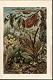 Insect Mimicry Camouflage Hiding nice c. 1890 antique chromolithograph print