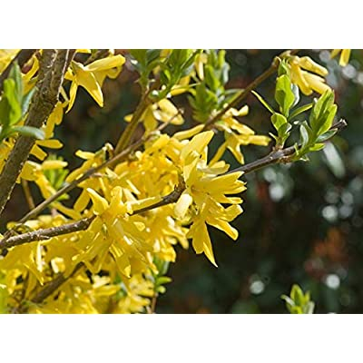 """25 Fresh Cuttings Forsythia""""Yellow Bells"""" Easy to Root + Propagation Guide : Garden & Outdoor"""