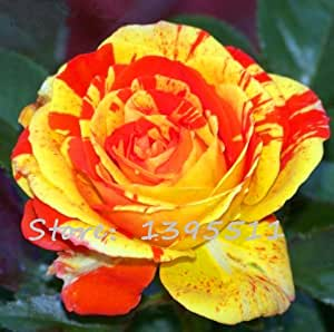 1bag=100pcs Rare Rose seeds, rare color, Rose gorgeous flower Home & Gardern bonsai planting Seeds
