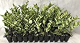 Ligustrum Japonicum Jack Frost Qty 40 Live Plants Evergreen Privacy Hedge Variegated Tips