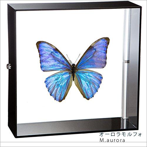 蝶の標本 オーロラモルフォ Morpho auroa モルフォチョウ アクリルフレーム 黒 B01MS62E5K